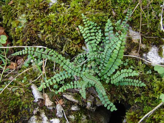 Asptenium trichomanes 550x412 Папоротники