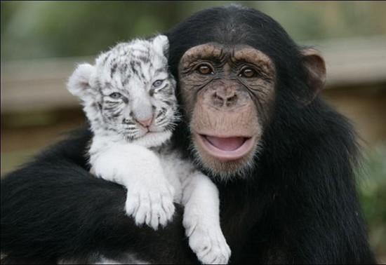 monkey 550x378 Материнская любовь