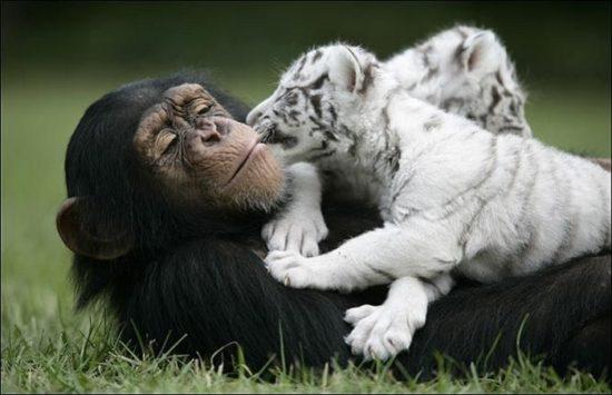 monkey2 550x355 Материнская любовь