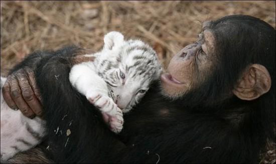 monkey3 550x327 Материнская любовь