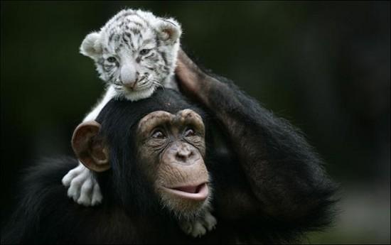 monkey4 550x345 Материнская любовь