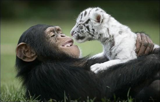 monkey5 550x352 Материнская любовь