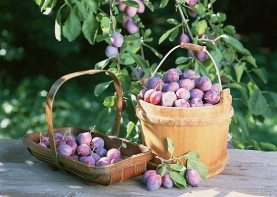sliva1 550x391 Самые полезные продукты времени сбора урожая