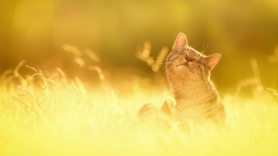 0dd5410f 550x309 Кошки любят солнечные лучи