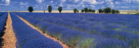2 550x191 Лавандовые поля Франции