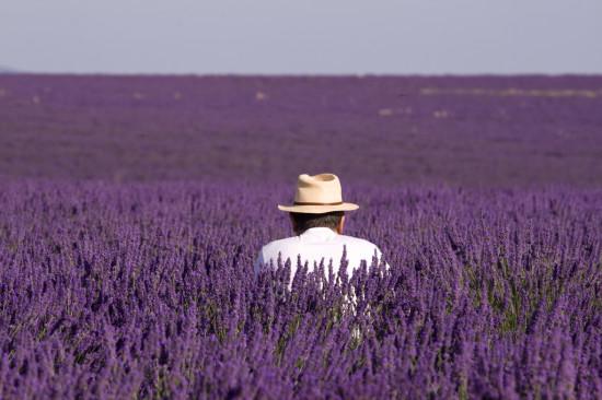 2010071109072300 lavande de provence sur le plateau de valensole 550x366 Лавандовые поля Франции