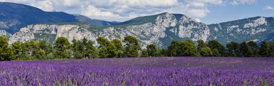 3 550x173 Лавандовые поля Франции