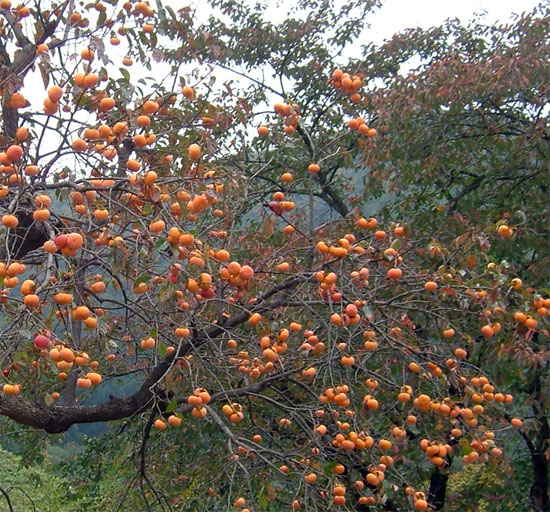 diospyros in crimea photo Хурма и ее свойства