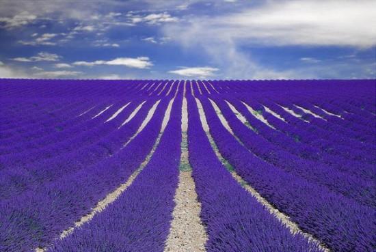 file1 550x369 Лавандовые поля Франции