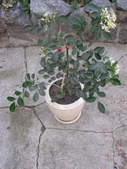 12 412x550 Интересное растение   муррайя