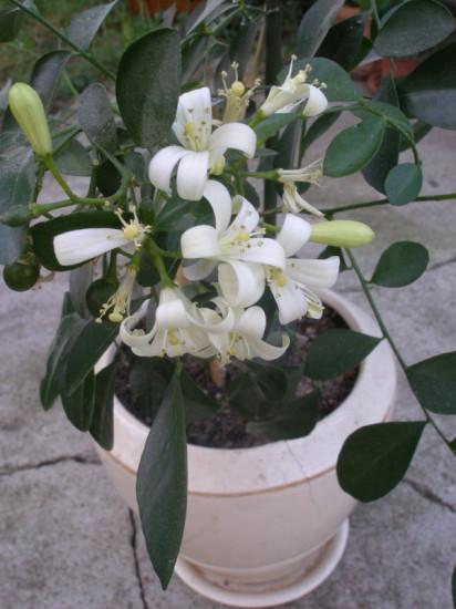 2 412x550 Интересное растение   муррайя
