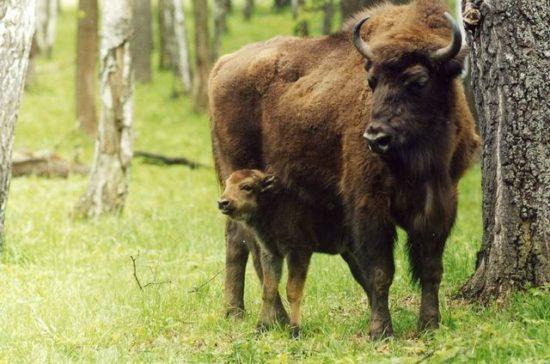 21 550x364 8 видов животных на грани вымирания