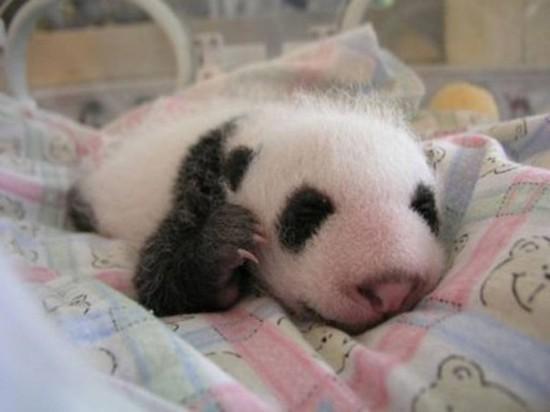 393ZCglrg9k 550x412 Как растет панда