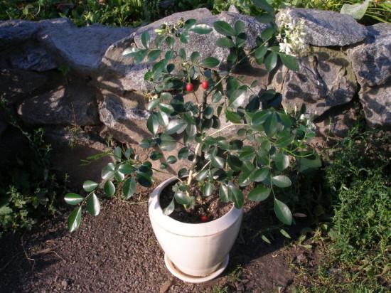 41 550x412 Интересное растение   муррайя