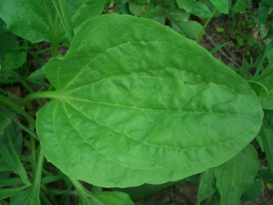 42 550x412 Лекарственное растение   подорожник