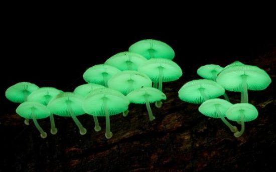 6102 620x387 550x343 Биолюминесцентные грибы