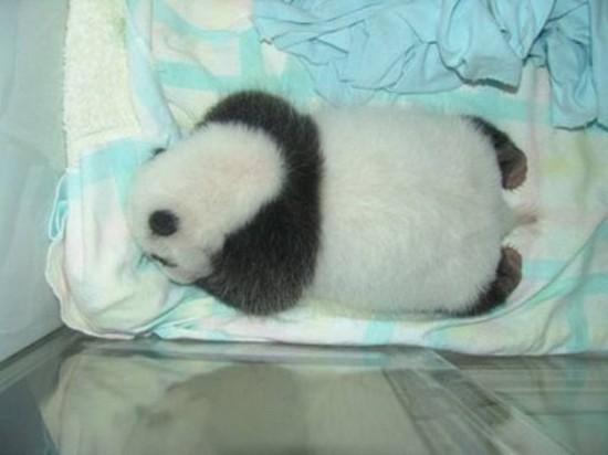 6Ohl6Sey6ko 550x412 Как растет панда