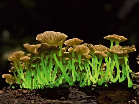 ESu89H WTSM 550x412 Биолюминесцентные грибы