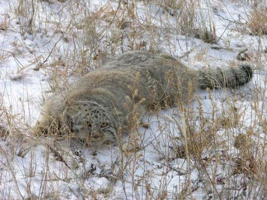 Manul 4 550x412 8 видов животных на грани вымирания