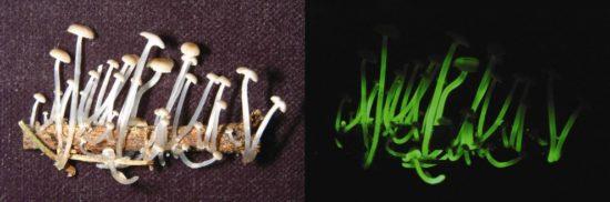 Mycena21 990x328 550x182 Биолюминесцентные грибы
