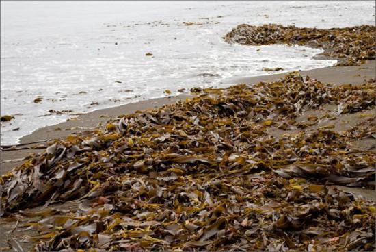 Po beregam v obilii lezhit morskaya kapusta Mozhno delat salat 550x368 О пользе морской капусты