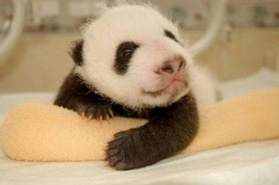 UiTH7zm xZo 550x365 Как растет панда