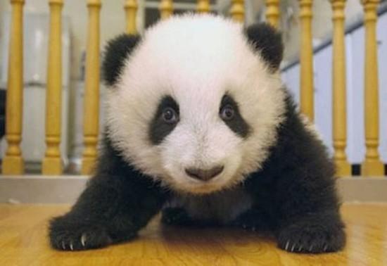 qiyPmN1QnaU 550x378 Как растет панда