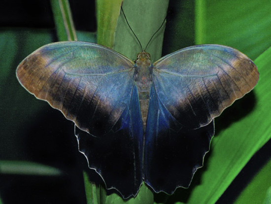 owl butterfly susan 550x414 Факты из жизни фауны