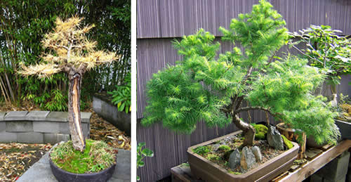subscribe  admin  files 948 larch bonsai500 Лиственница
