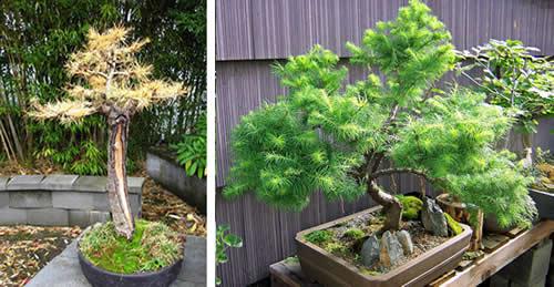 subscribe  admin  files 948 larch bonsai500 Лиственница