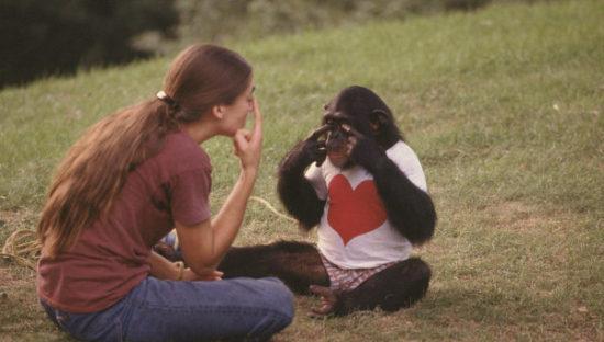 776271096 550x312 Насколько умные шимпанзе?