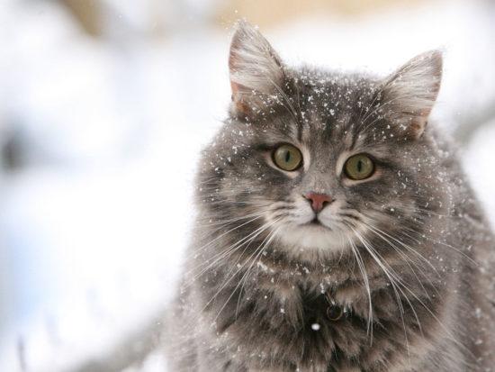 Koshki v snegu 000 550x413 Лечебная кошка или фелинотерапия