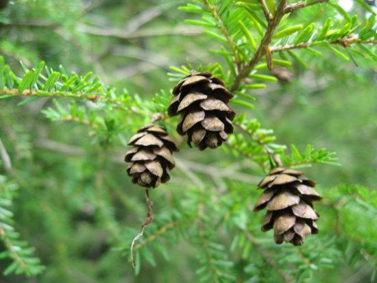 1280px Tsuga canadensis foliagecones 550x413 Тсуга   реликтовое растение