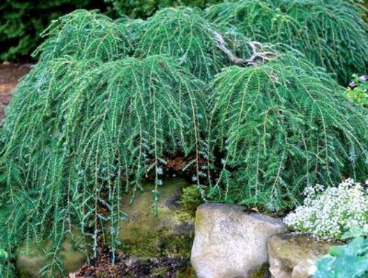 subscribe  admin  files 946 Tsuga Coles Prostrate                Тсуга   реликтовое растение