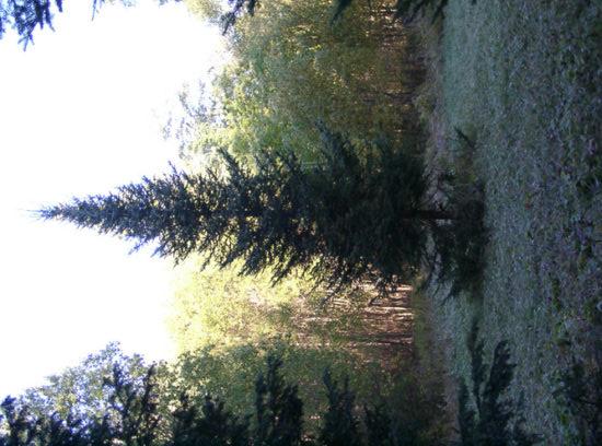 tsugak 412x550 Тсуга   реликтовое растение