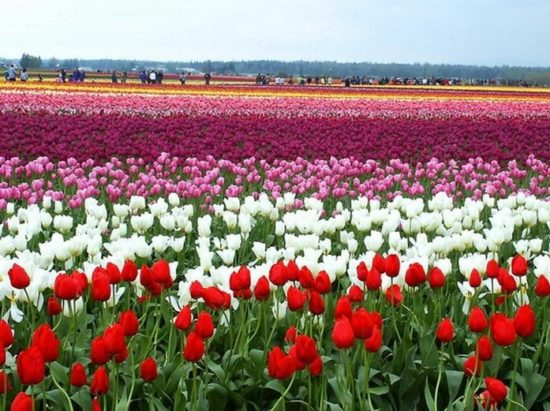 0 18cb8 1dc662f6 XL 550x411 Цветущие поля Нидерландов