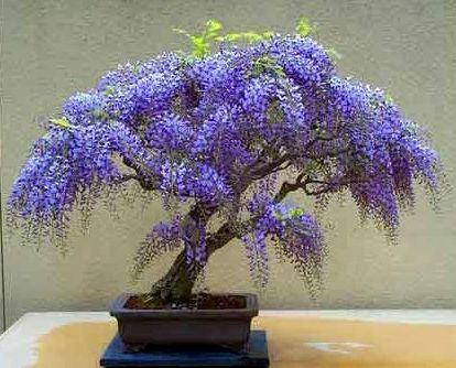 0 74586 3f270a9c L Сказочное растение глициния