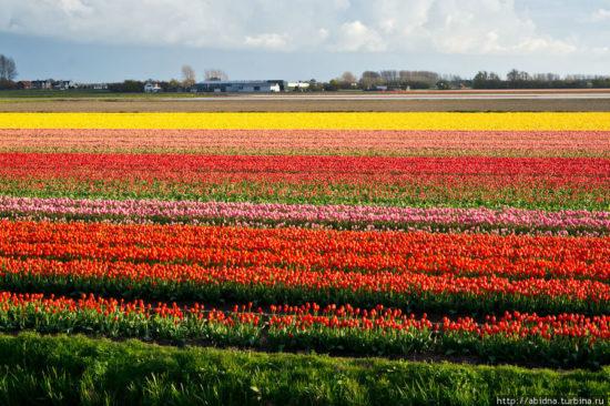 1 2 550x366 Цветущие поля Нидерландов