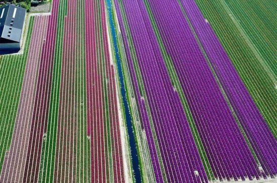 1361261995 tyulpanovye polya 5 550x364 Цветущие поля Нидерландов