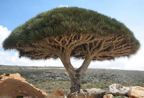 14404860 R3L8T8D 900 4 2 550x376 10 деревьев, которые словно с другой планеты