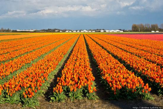19 550x366 Цветущие поля Нидерландов