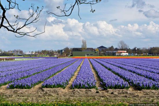 21 550x366 Цветущие поля Нидерландов