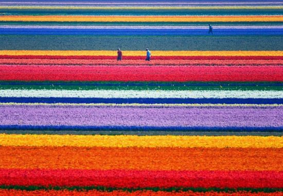2273 550x382 Цветущие поля Нидерландов