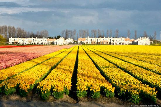 31 550x366 Цветущие поля Нидерландов