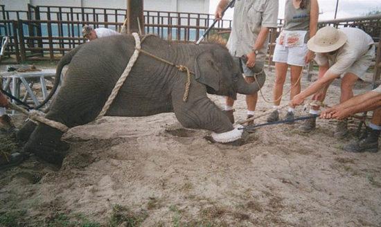 5853358 original 550x328 Как дрессируют цирковых животных
