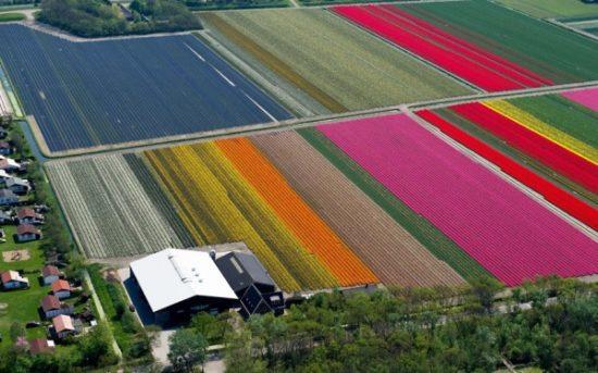 7648305 R3L8T8D 600 tulip fields 2470264k 550x343 Цветущие поля Нидерландов