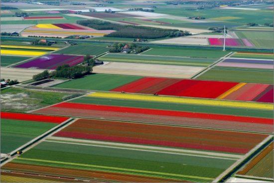 7657855 R3L8T8D 600 3 550x367 Цветущие поля Нидерландов