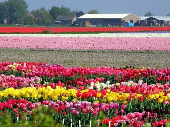 8139 600 550x413 Цветущие поля Нидерландов