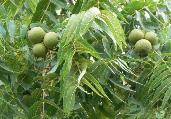 Black Walnut nut and leave detail 550x384 Украина   Родина. Улыбки разных городов. Хмельницкий черный орех