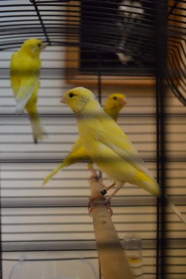 Vystavka ptits 367x550 Выставка певчих и экзотических птиц